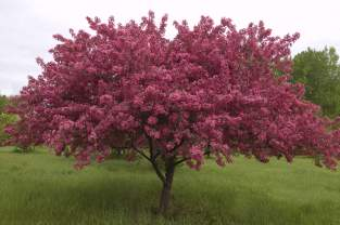 Trees page 4 grant power landscaping crabapple clump dark pink mightylinksfo